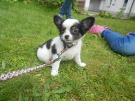 Foto 3 Süße Chihuahua Welpen dürfen zum 28.08.2012 ausziehen!!!!