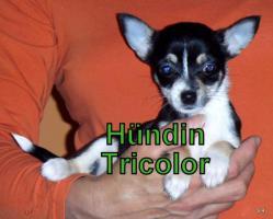 Süße Chihuahua Welpen suchen noch eine Familie