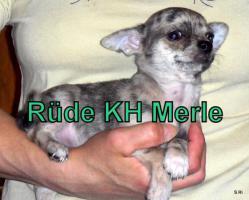 Foto 2 Süße Chihuahua Welpen suchen noch eine Familie