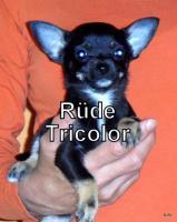 Foto 3 Süße Chihuahua Welpen suchen noch eine Familie