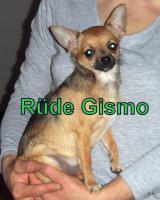 Foto 4 Süße Chihuahua Welpen suchen noch eine Familie