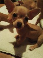 Foto 2 Süße Chihuahua Welpen zu verkaufen