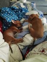 Foto 3 Süße Chihuahua Welpen zu verkaufen