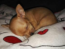 Foto 5 Süße Chihuahua Welpen zu verkaufen