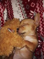 Foto 6 Süße Chihuahua Welpen zu verkaufen