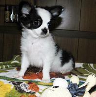 Süße Chihuahua Welpen  Rüden mit Papieren