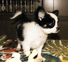 Foto 2 Süße Chihuahua Welpen  Rüden mit Papieren