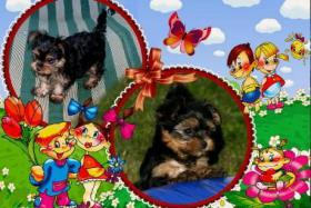 S��e Chihuahua & Jorkshire Terrier Babys