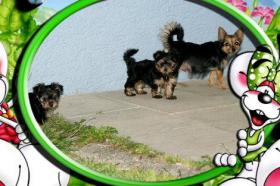 Foto 2 S��e Chihuahua & Jorkshire Terrier Babys