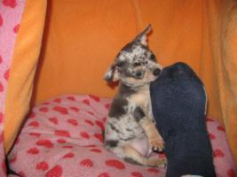 Süsse Chihuahuawelpen KH u.LH Merle  mit Stammbaum