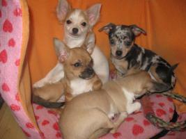 Foto 2 Süsse Chihuahuawelpen KH u.LH Merle  mit Stammbaum