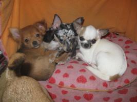 Foto 4 Süsse Chihuahuawelpen KH u.LH Merle  mit Stammbaum