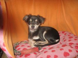 Foto 5 Süsse Chihuahuawelpen KH u.LH Merle  mit Stammbaum