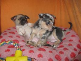 Foto 8 Süsse Chihuahuawelpen KH u.LH Merle  mit Stammbaum