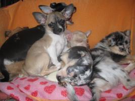 Foto 9 Süsse Chihuahuawelpen KH u.LH Merle  mit Stammbaum
