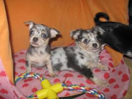 Foto 15 Süsse Chihuahuawelpen KH u.LH Merle  mit Stammbaum