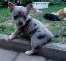 Süße Chihuahuawelpen in Lang und Kurzhaar!!!