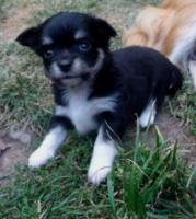Foto 2 Süße Chihuahuawelpen in Lang und Kurzhaar!!!