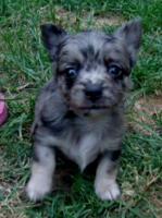 Foto 3 Süße Chihuahuawelpen in Lang und Kurzhaar!!!
