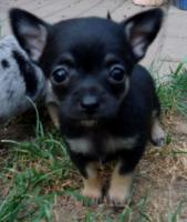 Foto 5 Süße Chihuahuawelpen in Lang und Kurzhaar!!!