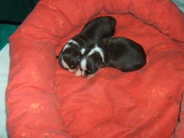 Foto 3 Süße Chihuahuawelpen, dkl.schoko mit Papieren
