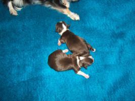 Foto 5 Süße Chihuahuawelpen, dkl.schoko mit Papieren