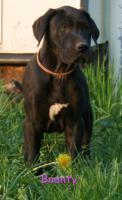 Foto 9 Süße Deutsche Doggen Welpen suchen Ihr Zuhause