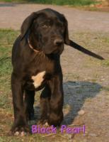 Foto 8 Süße Deutsche Doggen suchen Ihr Zuhause