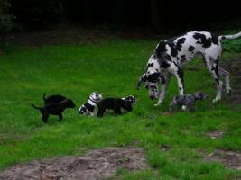 Foto 7 Süße Deutsche Doggenwelpen