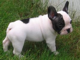 Foto 4 Süße Französische Bulldoggen - Welpen -