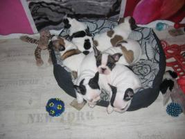 Foto 5 Süße Französische Bulldoggen - Welpen -