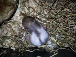 Foto 4 Süße Hamsterbabys Gold/Teddy suchen neues Zuhause
