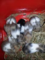 Süße Hamsterbabys Gold/Teddy suchen neues Zuhause