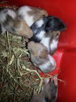 Foto 2 S��e Hamsterbabys Gold/Teddy suchen neues Zuhause