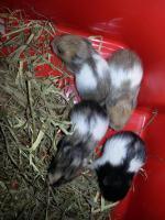 Foto 3 S��e Hamsterbabys Gold/Teddy suchen neues Zuhause