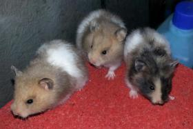 S��e Hamsterbabys (Teddyhamster) suchen ein neues Zuhause
