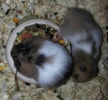 Foto 2 S��e Hamsterbabys (Teddyhamster) suchen ein neues Zuhause