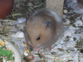 Foto 3 S��e Hamsterbabys (Teddyhamster) suchen ein neues Zuhause