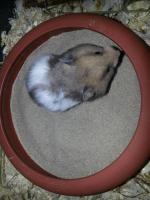 Foto 4 S��e Hamsterbabys (Teddyhamster) suchen ein neues Zuhause