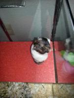 Foto 6 S��e Hamsterbabys (Teddyhamster) suchen ein neues Zuhause