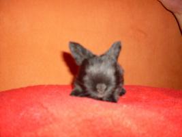 Foto 4 S�sse Havanna-Babys
