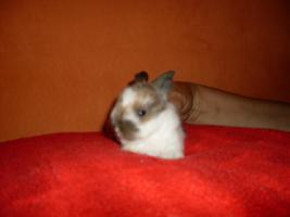 Foto 5 Süsse Havanna-Babys