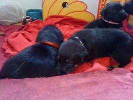 Süße Hundebabys suchen ein schönes Zuhause