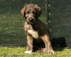 Foto 2 Süße Irish Wolfhound Welpen mit papieren