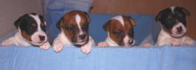 Süße Jack Russell Terrier Welpen zu Verkaufen