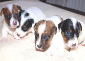 Foto 3 Süße Jack Russell Terrier Welpen zu Verkaufen
