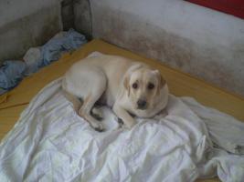Foto 2 Süße Kleine Labradorwelpen suchen eine neuen Traumplatz