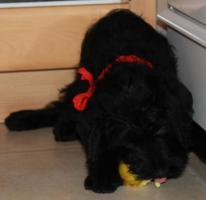 Foto 2 Süße Labradoodle-Welpen!!