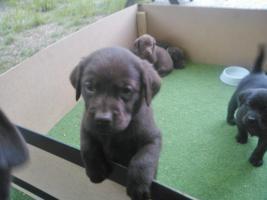 Foto 2 Süsse Labrador Welpen