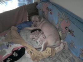 Foto 5 Süsse Labradorwelpen